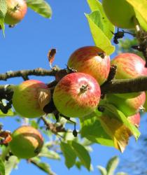 Jablek bude letos méně, kvůli suchu i kroupám