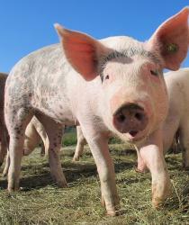 Chovatelé dojných krav a prasnic dostanou podporu 604 milionů korun