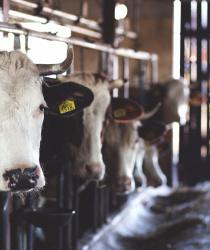 Chovatelé dojnic a prasnic mají nárok na mimořádnou kompenzaci. Žádost musí být podána do 25. listopadu