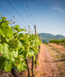 Co přinese novela zákona o vinohradnictví a vinařství?