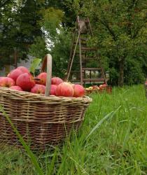 Letošní úroda jablek je oproti loňsku o čtvrtinu horší