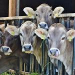 Hovězí maso z Polska se bude dále kontrolovat