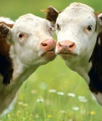 Pro zlepšení životních podmínek hospodářských zvířat dá Ministerstvo zemědělství 1,6 miliardy korun